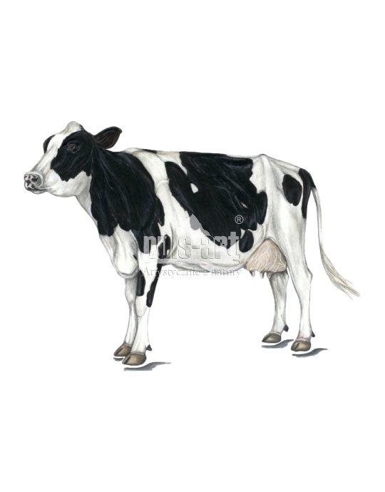 Bydło domowe - krowa