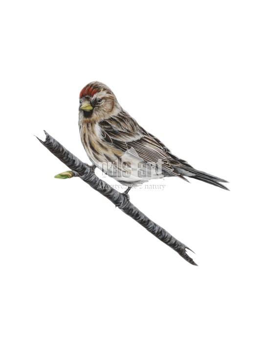 Czeczotka (Acanthis flammea) - samica
