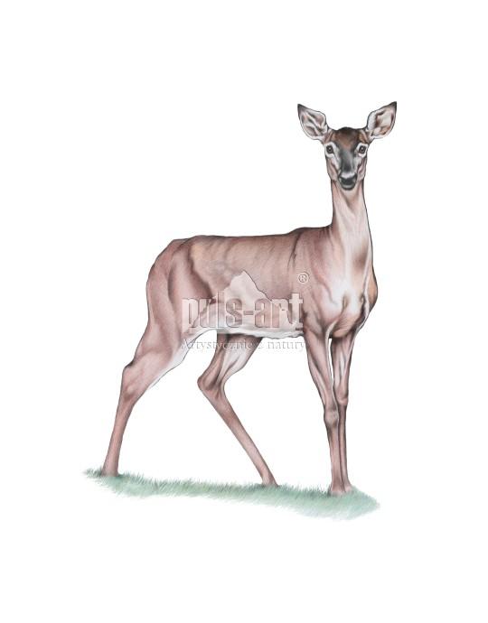 Jelen szlachetny - łania (Cervus elaphus)