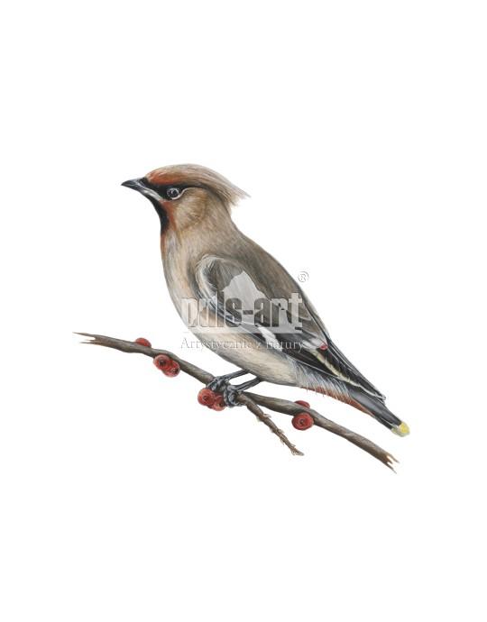 Jemiołuszka zwyczajna (Bombycilla garrulus) - samica