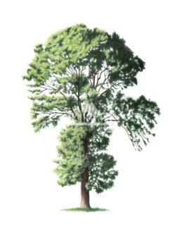 Jesion wyniosły (Fraxinus excelsior)