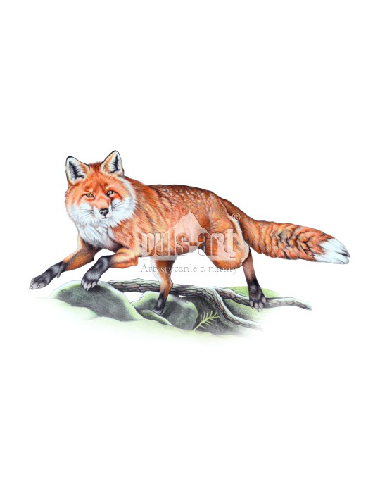 Lis pospolity (Vulpes vulpes)
