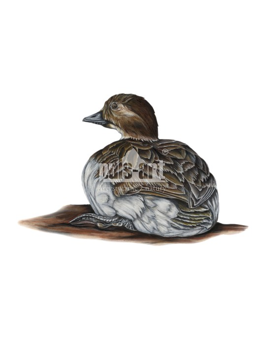 Lodówka (Clangula hyemalis) - samica