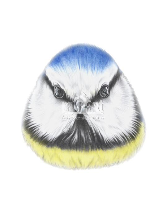 Modraszka zwyczajna (Cyanistes caeruleus)