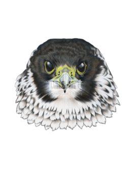 Sokół wędrowny (Falco peregrinus)
