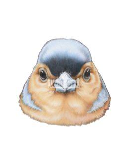 Zięba zwyczajna (Fringilla coelebs)