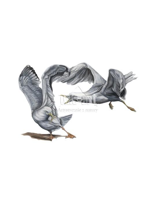 Mewa siwa (Larus canus)