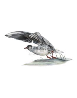 Mewa smieszka (Chroicocephalus ridibundus)