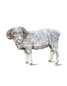 Owca domowa - baran