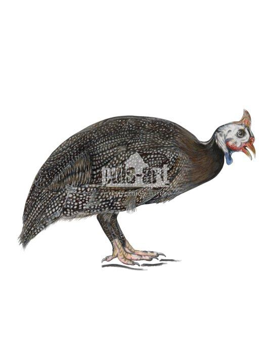 Perliczka (Numida meleagris)