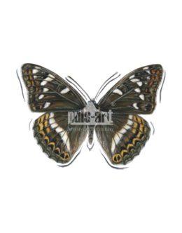 Pokłonnik osinowiec (Limenitis populi)
