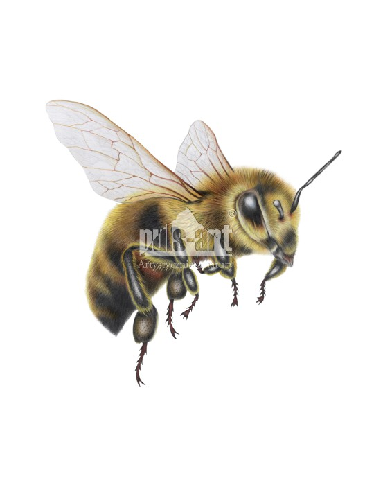 Pszczoła miodna (Apis mellifera)
