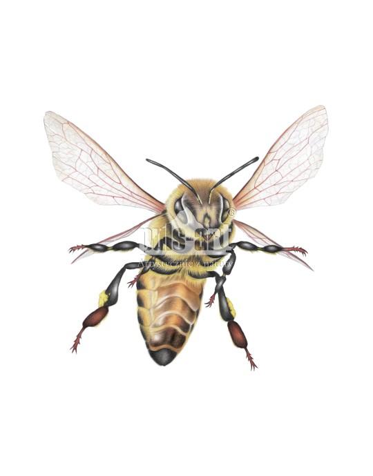 Pszczola w locie (Apis)