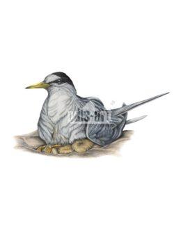 Rybitwa bialoczelna (Sternula albifrons)