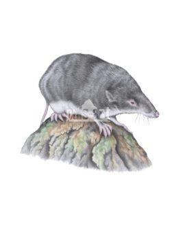 Rzęsorek mniejszy (Neomys anomalus)