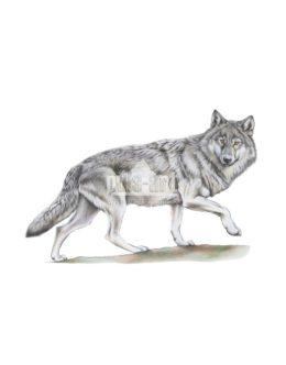 Wilk szary (Canis lupus) - basior
