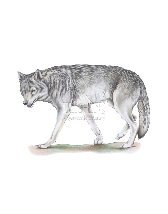 Wilk szary (Canis lupus) - wadera