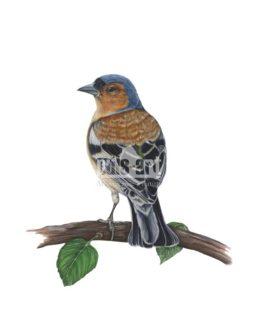 Zięba zwyczajna (Fringilla coelebs) - samiec